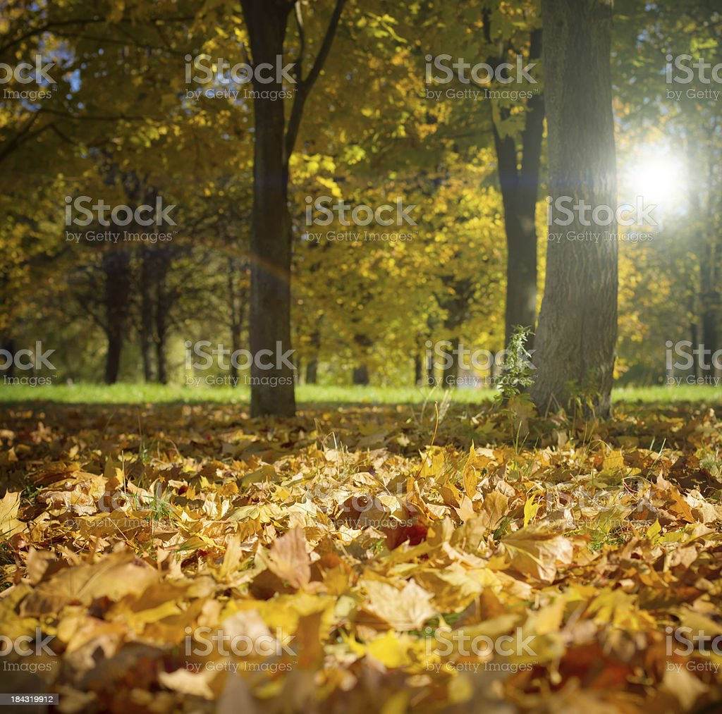 Autumn in the maple woods royalty-free stock photo