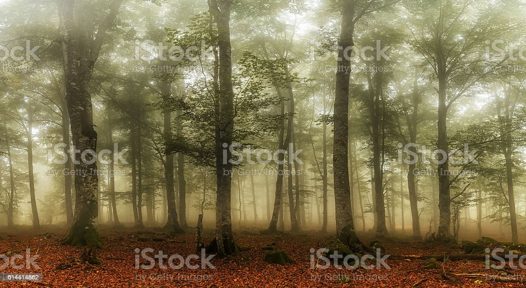 Autumn is coming, misty forest stock photo