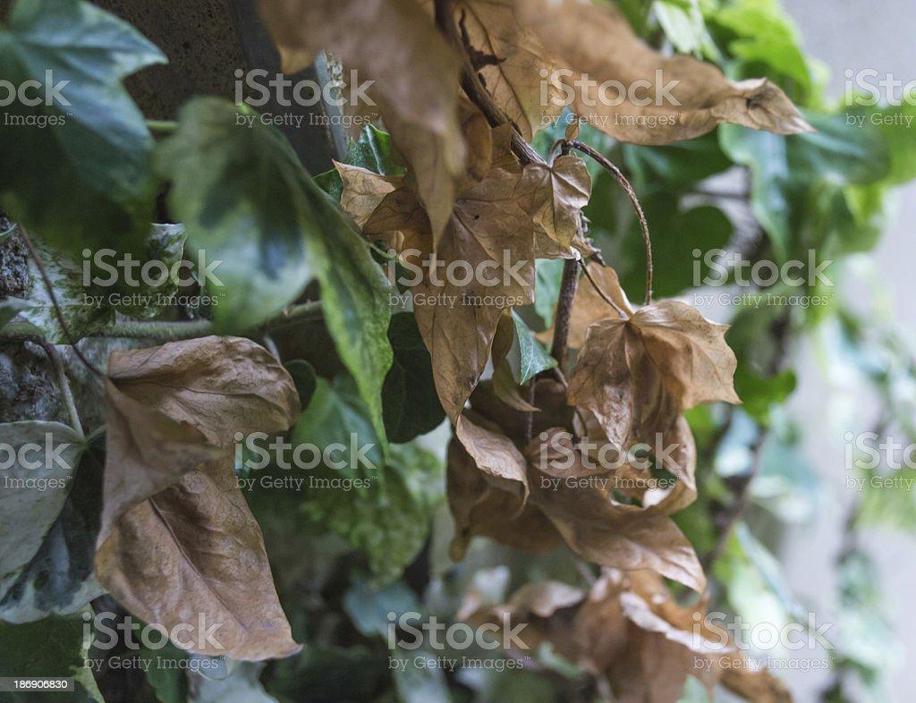 Autumn Ivy royalty-free stock photo