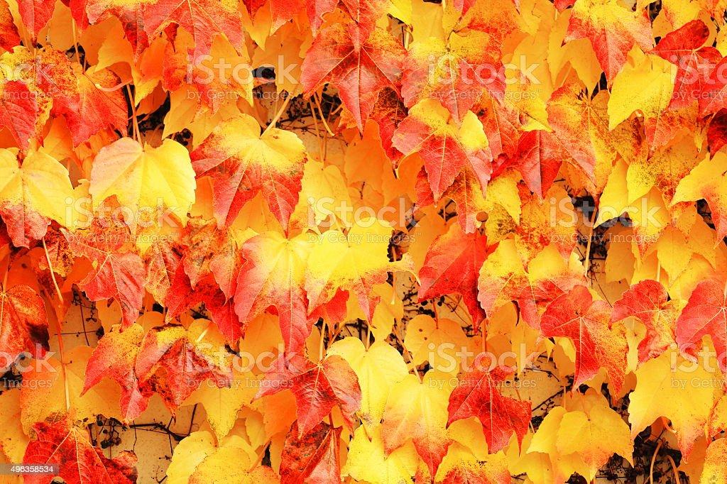 Autumn ivy stock photo