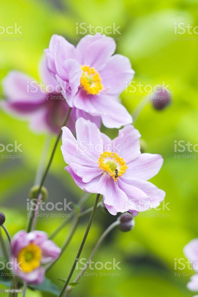 Autumn Japanese Anemone (Anemone hupehensis) - V royalty-free stock photo