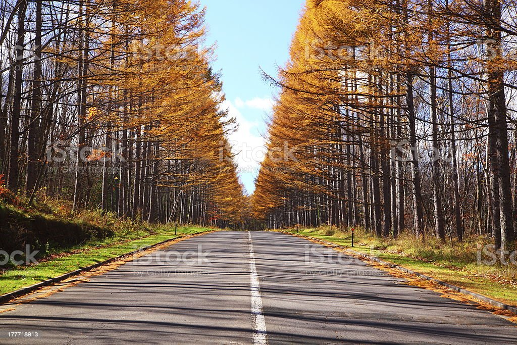 Autumn Japanese larch royalty-free stock photo