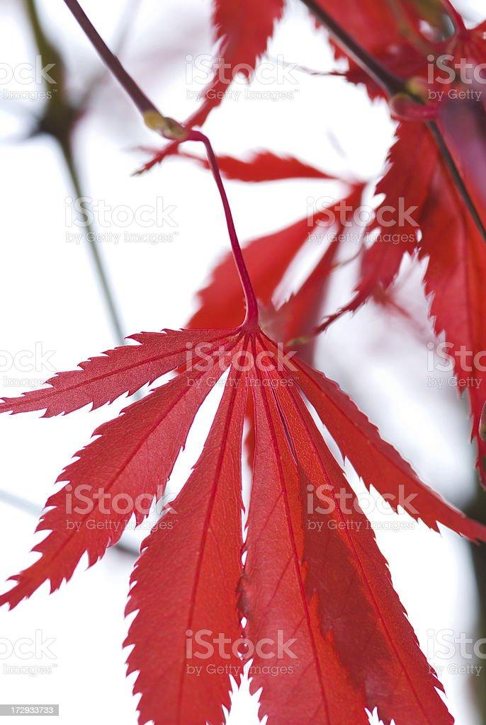 Autumn Japanese Maple foliage - I royalty-free stock photo