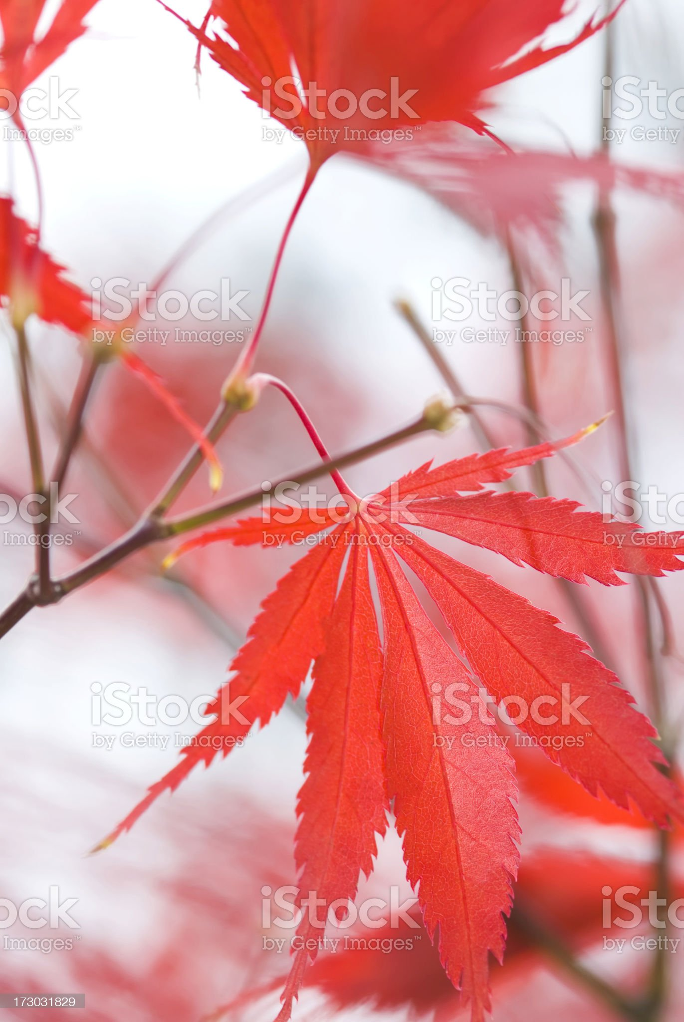 Autumn Japanese Maple foliage - III royalty-free stock photo