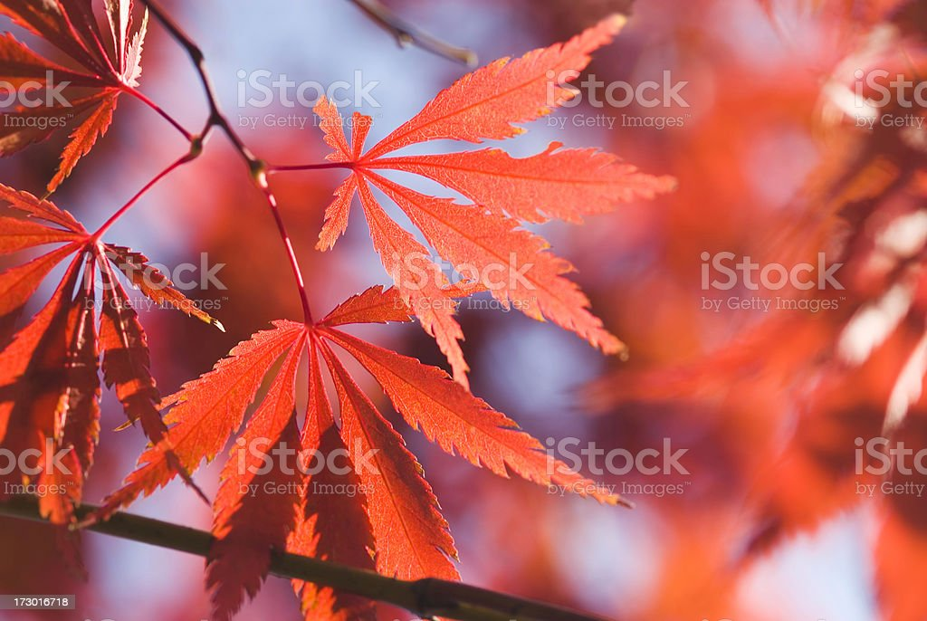 Autumn Japanese Maple foliage - VII royalty-free stock photo