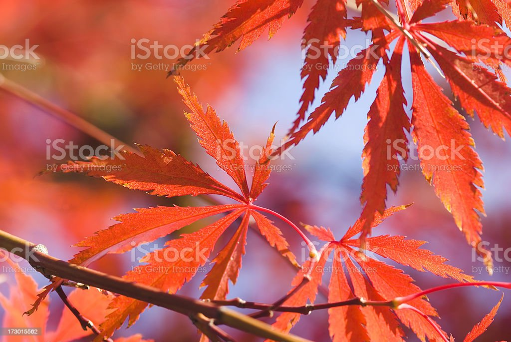 Autumn Japanese Maple foliage - VIII royalty-free stock photo