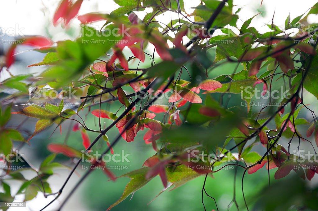 Autumn Japanese Maple Leaves stock photo