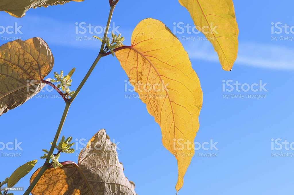 Autumn knotweed leaves against blue sky stock photo