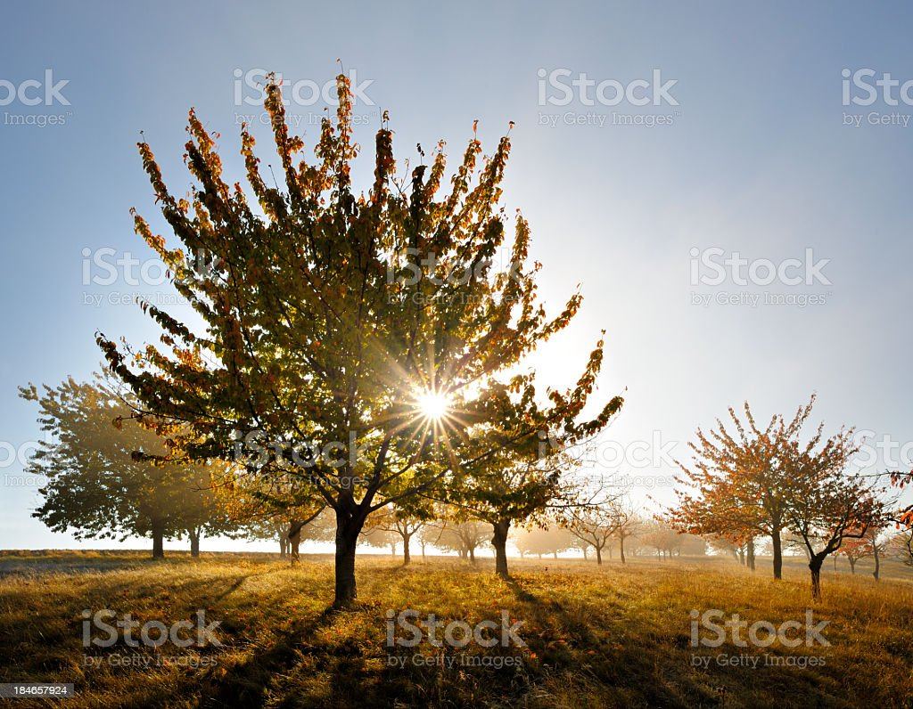 Autumn Landscape, Blazing Cherry Trees in Orchard backlit by Sun royalty-free stock photo