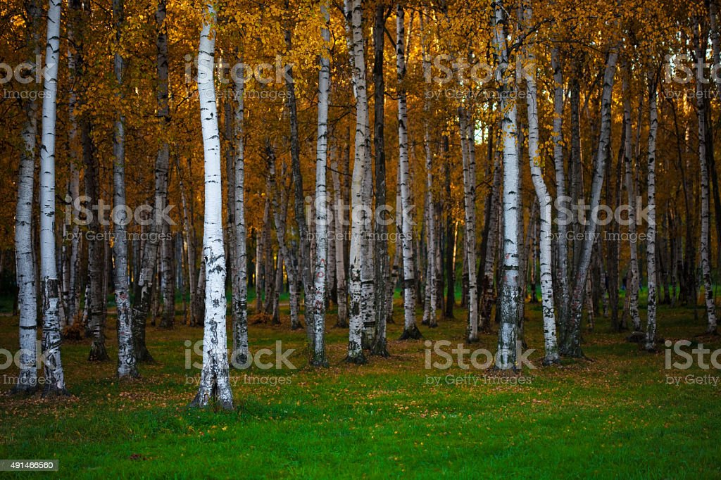 Autumn landscape, dense birch forest, natural background stock photo