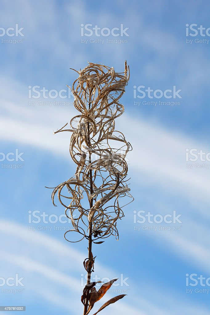 Autumn landscape. Dry flower fireweed on a blurred background. stock photo