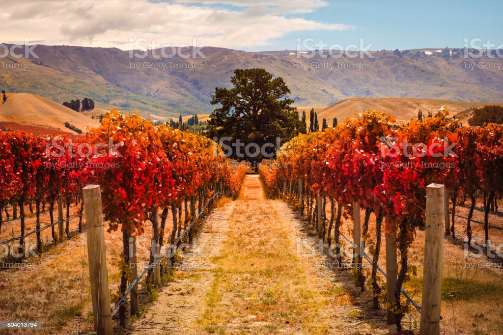 Autumn landscape of vineyard rows with the tree, New Zealand stock photo