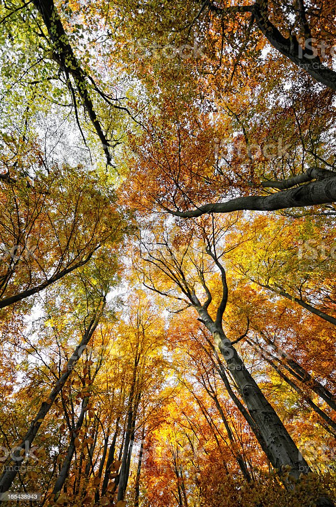 Autumn landscape with colorful  beech tree forest stock photo