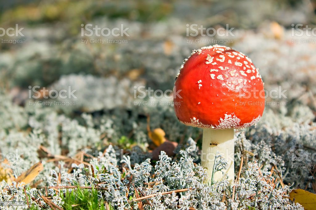 autumn landscape with forest and a mushroom a fly agaric stock photo