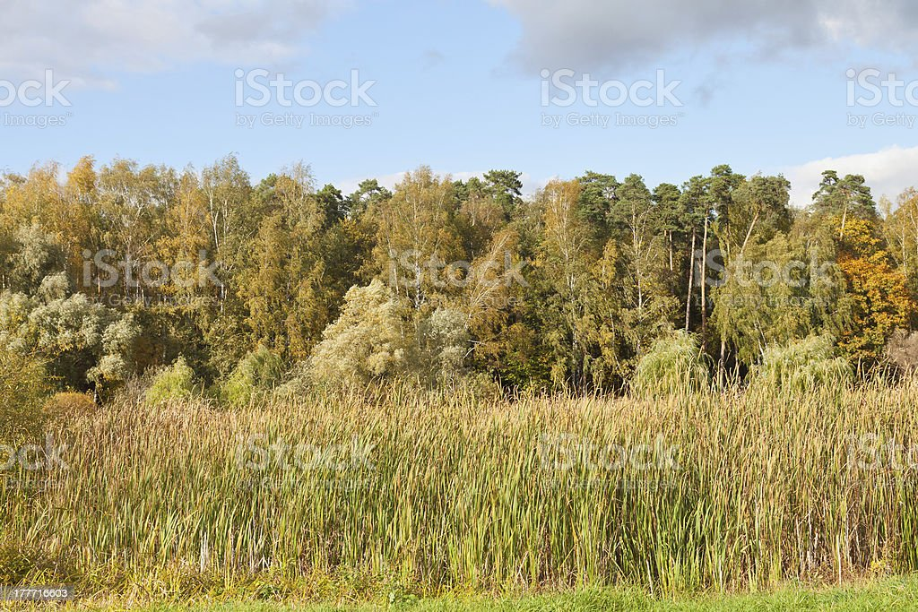 autumn landscape with forest and rush plant royalty-free stock photo