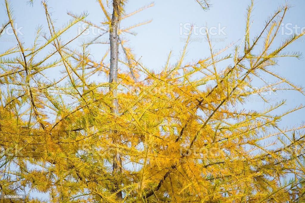 Autumn Larch Tree stock photo
