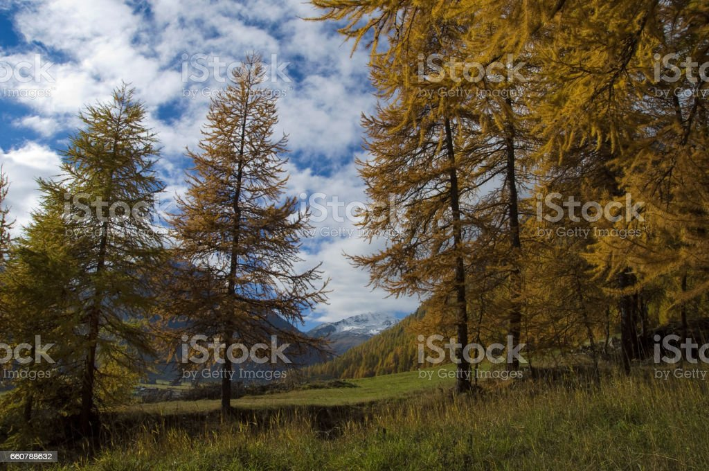 Larici autunnali stock photo
