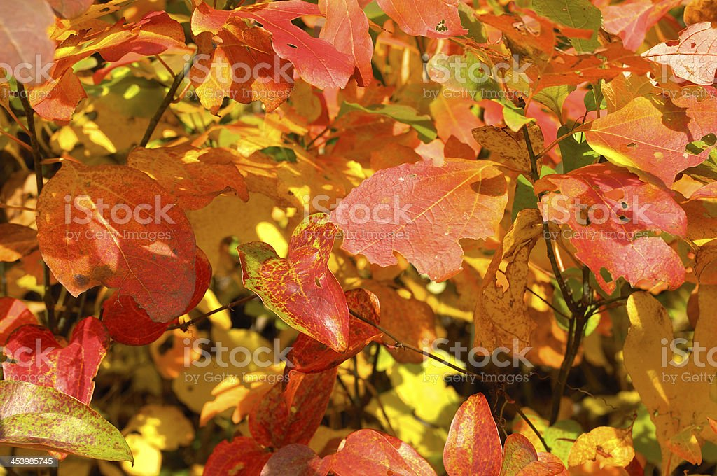 Autumn leaf background from Blue Ridge Parkway, NC, USA. royalty-free stock photo