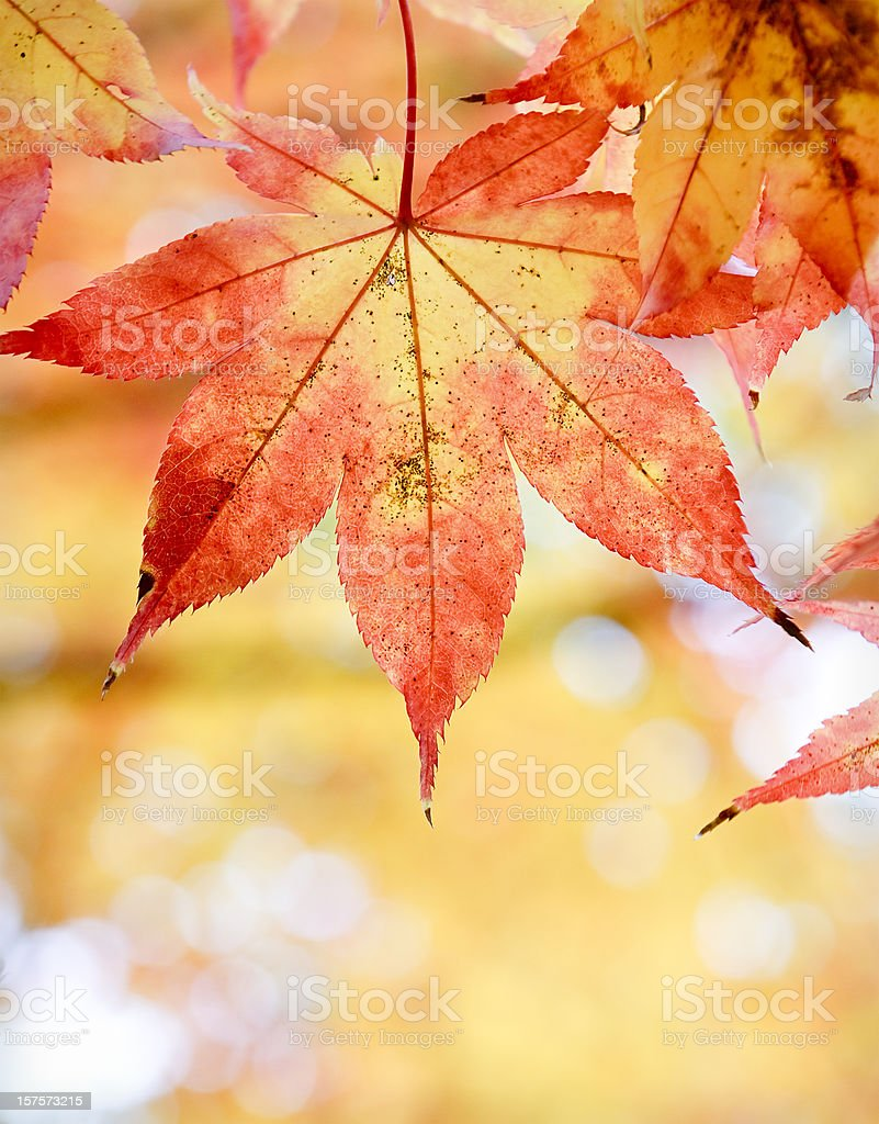 Autumn Leaf Decay Close-Up royalty-free stock photo