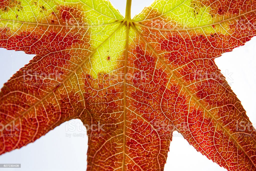 Autumn leaf detail isolated in red and yellow stock photo