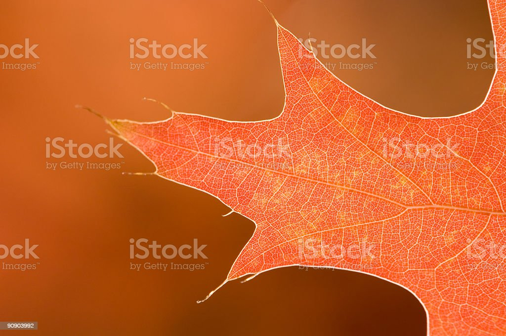Autumn Leaf Detail (Abstract) royalty-free stock photo