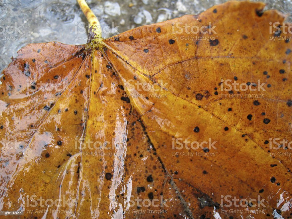 autumn leaf in puddle stock photo