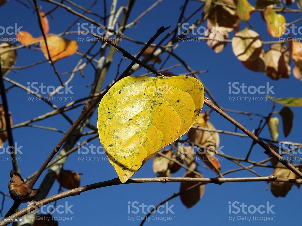 Autumn leaf in Southern Hemisphere stock photo