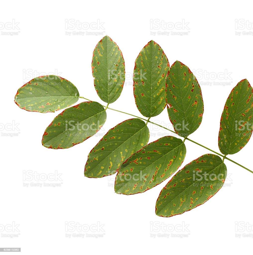 autumn leaf of acacia stock photo