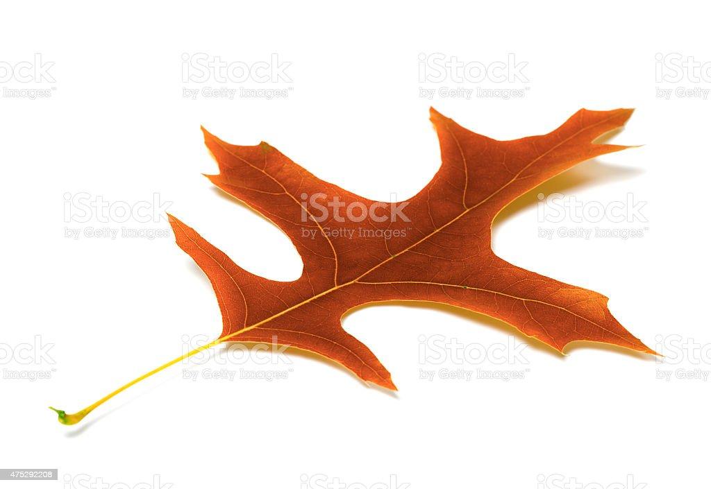 Autumn leaf of oak stock photo