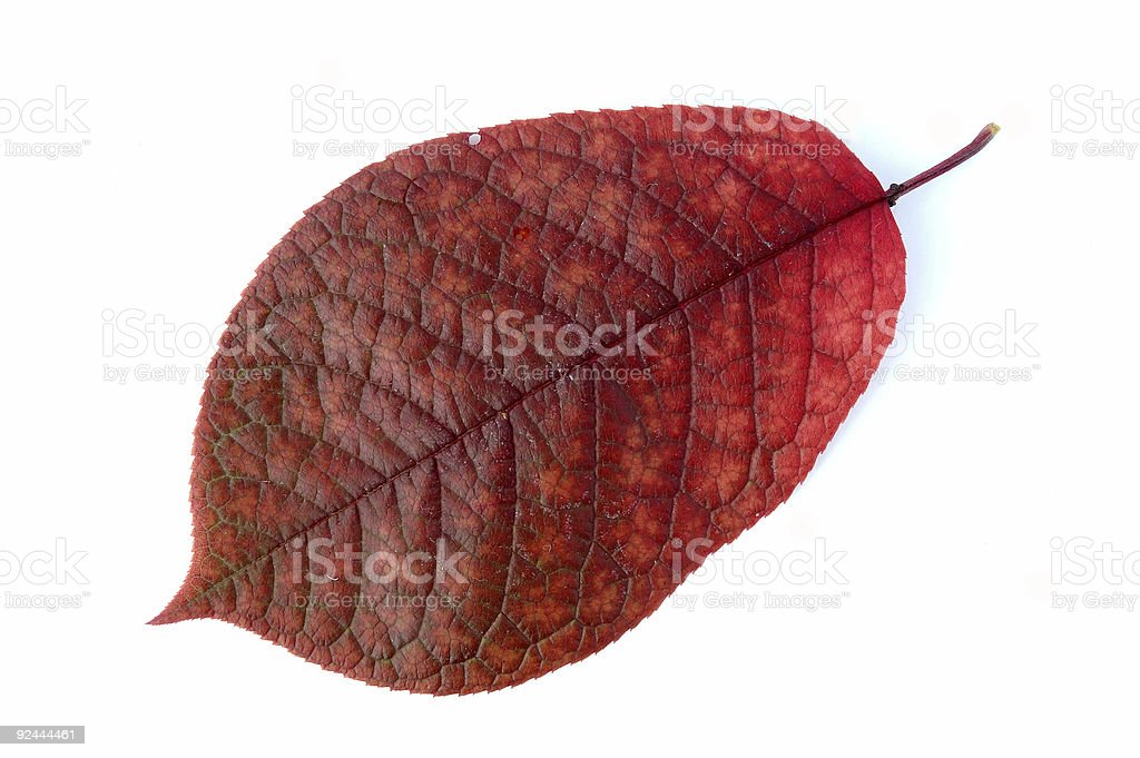 Autumn leaf. royalty-free stock photo