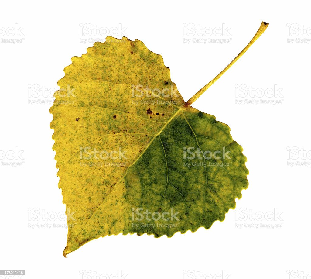 Autumn Leaf: Poplar stock photo