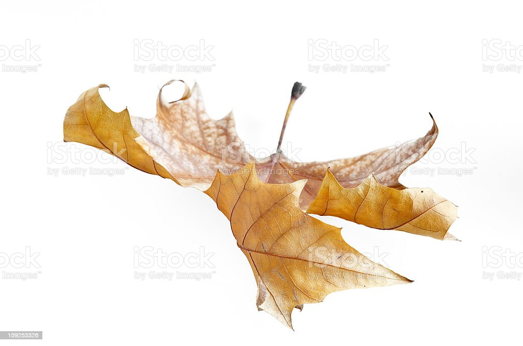 Autumn leaf, selective focus royalty-free stock photo