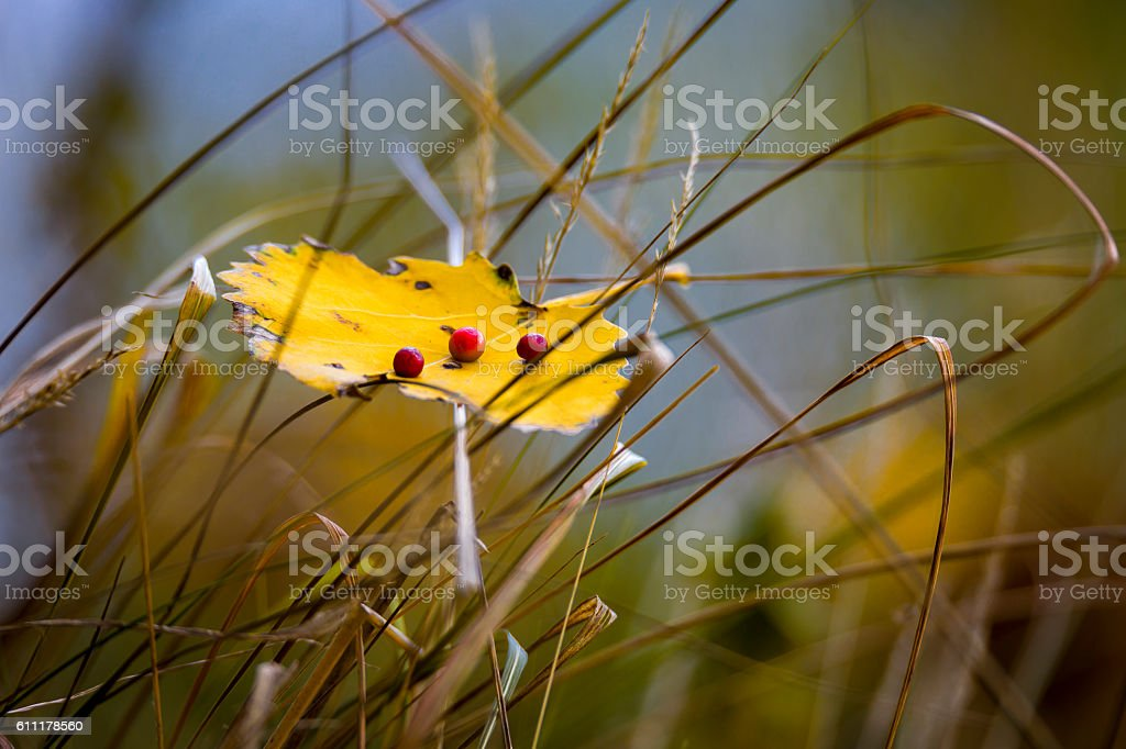 Autumn leaf with red berries stock photo