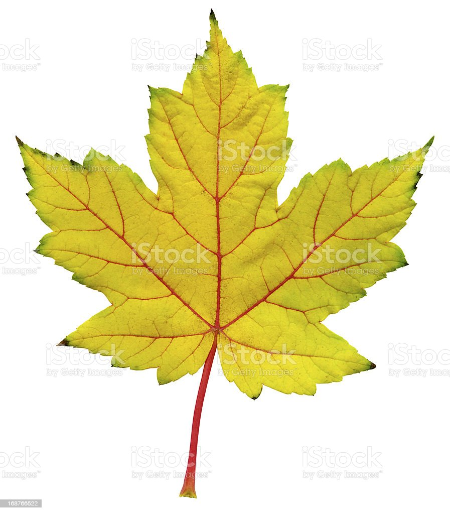 Autumn Leaf  XXL royalty-free stock photo