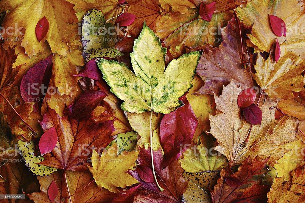 Autumn leafes royalty-free stock photo
