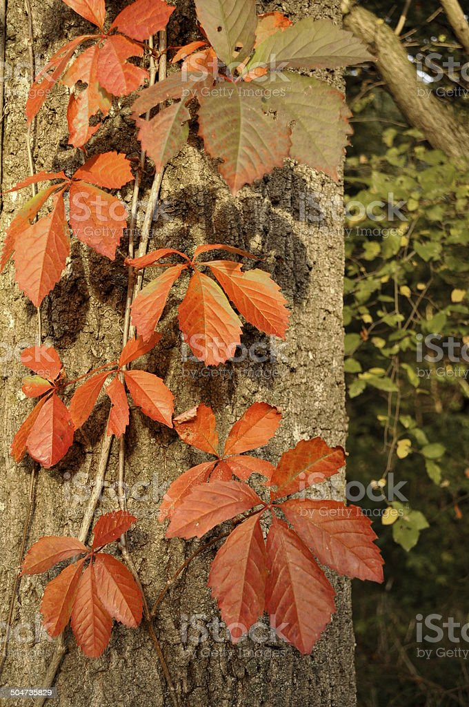 Autumn leafs hanging on a tree royalty-free stock photo