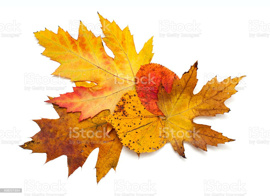 autumn leafs over white stock photo