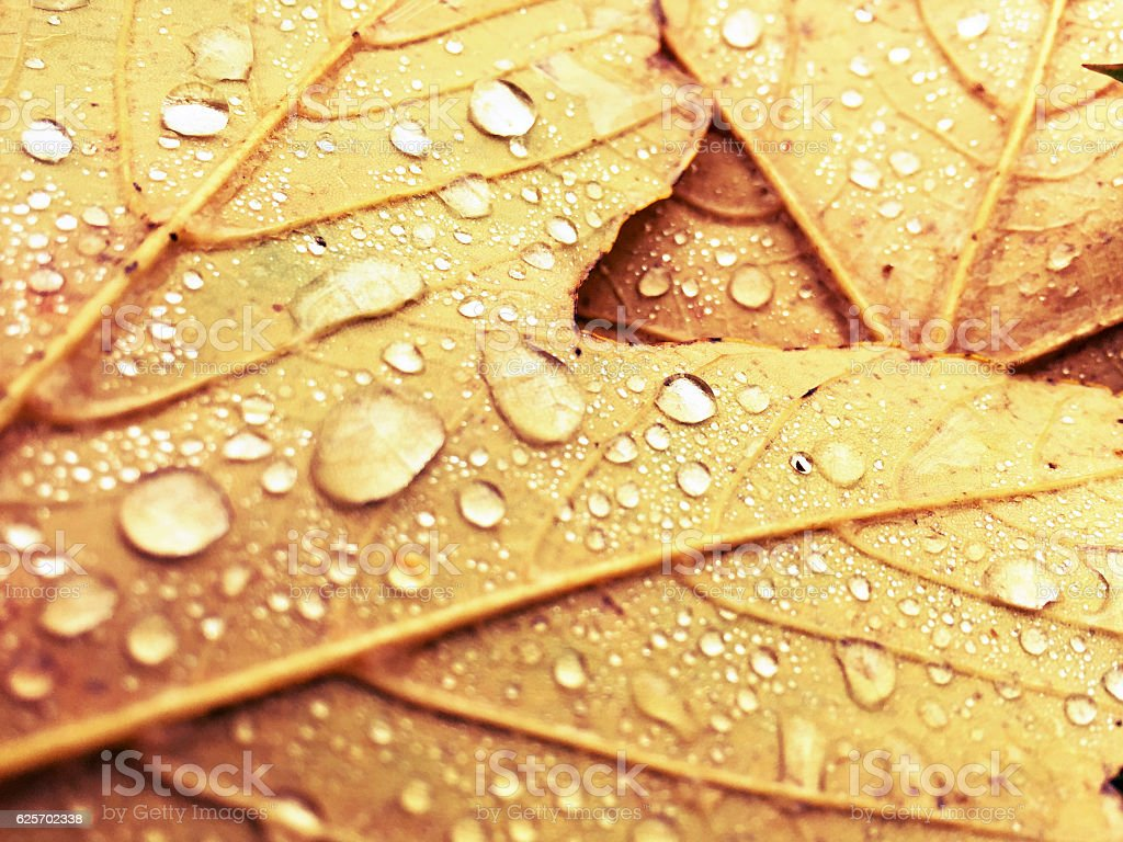 Autumn Leafs with water drops, close-up stock photo