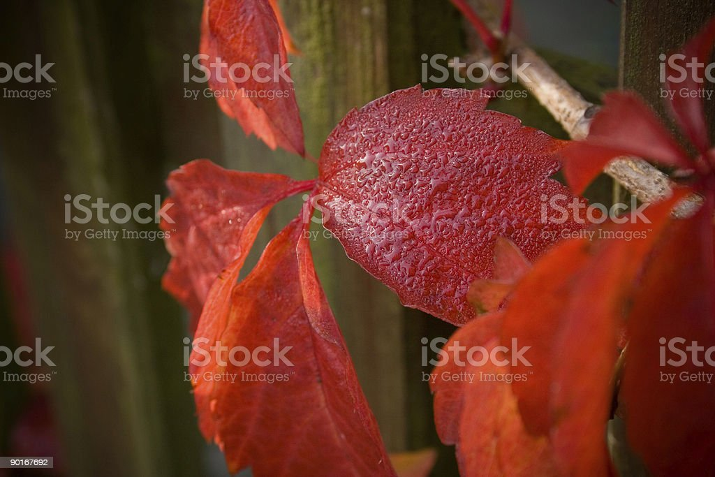 Autumn Leaves against Fence royalty-free stock photo