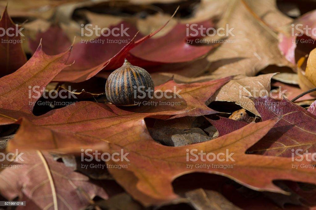 Autumn Leaves and Acorn - Quercus Palustris, Pin Oak stock photo