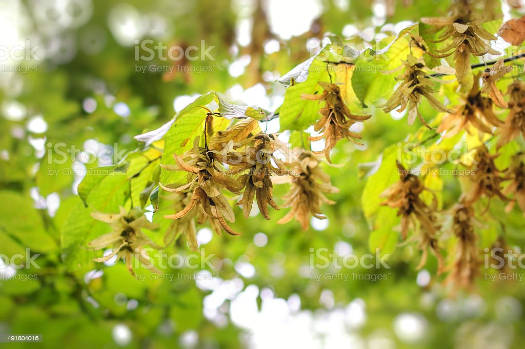 Autumn leaves and seeds - Hornbeam. stock photo