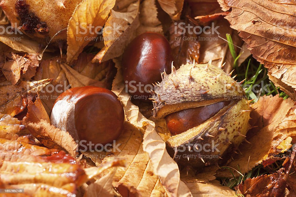 Autumn leaves and seeds of Horse Chestnut (Aesculus hippocastanu royalty-free stock photo