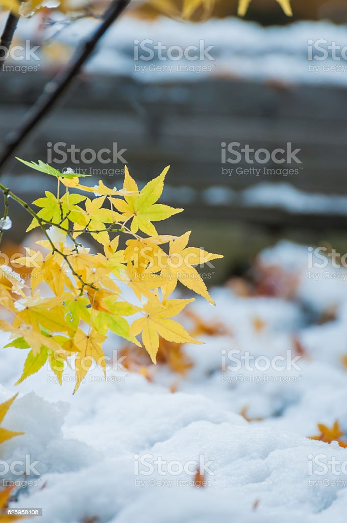 Autumn leaves and snow stock photo