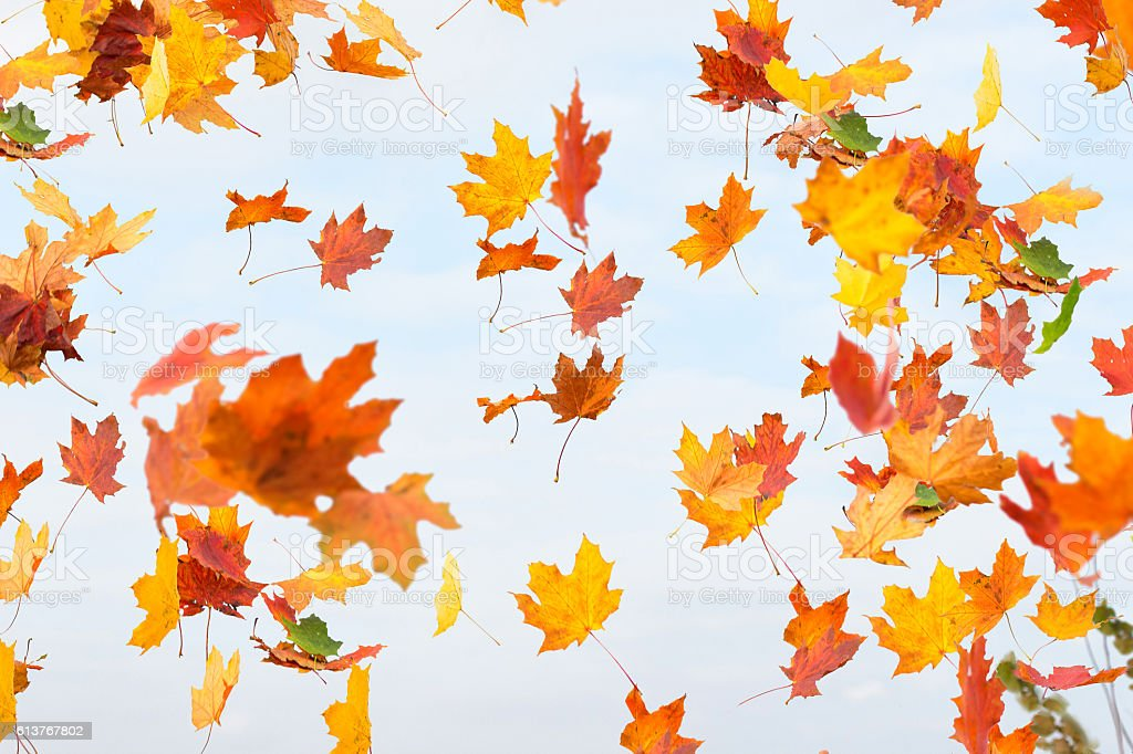 Autumn leaves are falling. stock photo