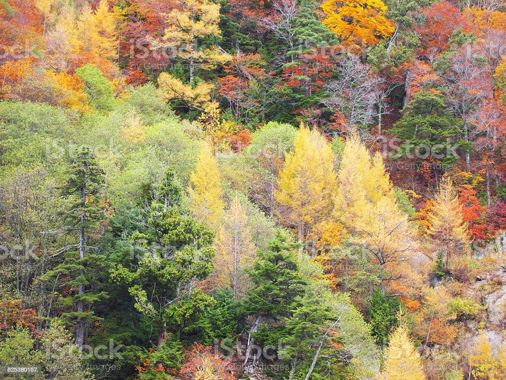 Autumn leaves at Kurobe Dam stock photo