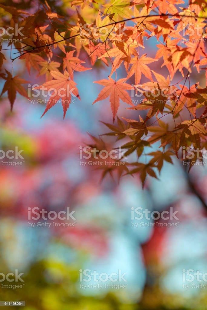 Autumn Leaves at sunset stock photo