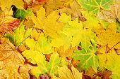 Autumn leaves background, close up