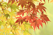 Autumn leaves background, green and red maples on tree.