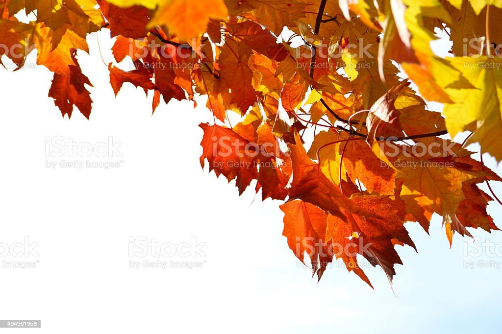 Autumn Leaves background, vibrant, multi colored against a bright sky stock photo