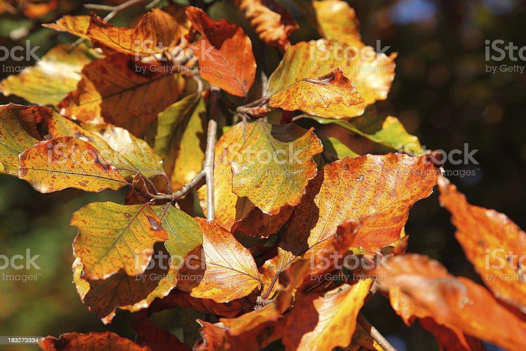 Autumn leaves - beech stock photo